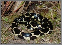Kingsnakes Of Florida | Florida Backyard Snakes Backyard Snakes Effective Wildlife Solutions Snakes And Beyond 65 Best Know Them Images On Pinterest Georgia Of Louisiana Department Fisheries Southern Hognose Snake Florida Texas Archives What Is That 46 The States Slithery Species Nolacom Scarlet Kingsnake Cottonmouth Eastern Living Alongside Idenfication Challenge The Garden Or Garter My Species List New Engdatlantic