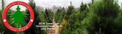 Frasier Christmas Tree Cutting by Concho Christmas Tree Farm Christoval Texas