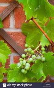 Delicious Biological Grapes Growing On The Backyard Garden Wall ... Small Plot Intensive Gardening Tomahawk Permaculture Backyard Vineyard Winery Grapes In Your Own Backyard Lifestyle Bucks County Courier More About The Regent Winegrape Growing Your Grimms Gardens Trellis With In The Yard At Home How To Grow Grapes Steemit Seedless Stark Bros Grape Orchards Pinterest Orchards Seattle Wa Youtube Grown Grape Vine And Trellis Stock Photo Royalty First Years Goal