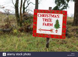 Fraser Christmas Tree Cutting by Christmas Tree Farm Stock Photos U0026 Christmas Tree Farm Stock
