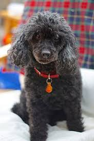 Small Dogs That Dont Shed Uk by Toy Dog Wikipedia