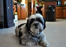 Shih Tzu Lhasa Apso Shedding by Shih Apso Dog Breed Everything About Lhasa Apso Shih Tzu Mixes