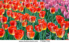 tulip bulb stock images royalty free images vectors