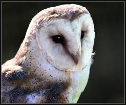 Barn Owl Close Up (tyto Alba) | Latin Name: Tyto Alba UK Pop… | Flickr Barn Owl Eating Mouse Sussex Uk Tyto Alba Stock Photo Royalty Bird Of The Month Owl Barn A Free Image 51931121 How To Attract Owls Your Yard 1134 Best Birdsstrigiformesowls Images On Pinterest Wikipedia Facts Pictures Diet Breeding Habitat Behaviour Eating Picture And 1861 Owls Snowy Saw Whets Chick Raptor Conservancy Virginia Baby And Animal