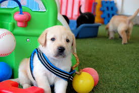 People Guide Dog Puppy Murphy Update on Training at Guiding Eyes