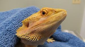 100 bearded dragon shedding nostrils baby fire ice bearded