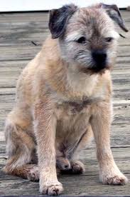 Do Border Terriers Shed by About Border Terriers