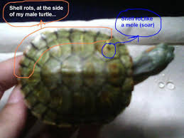 Turtle Shell Not Shedding Properly by Shelrotcond5