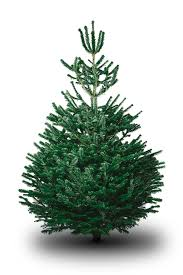 Nordmann Fir Christmas Trees Wholesale by Nordmann Fir Christmas Tree Glee Birmingham 2018 The Uk U0027s Most