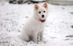 american eskimo dog toy miniature standard k9 research lab