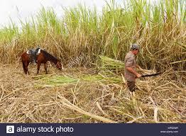 Harvesting Sugar Cane By Hand Valle De Los Ingenios Trinidad Cuba