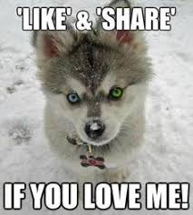 do huskies or malamutes shed more this is so my husky siberian huskies