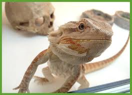 bearded dragon shedding in patches