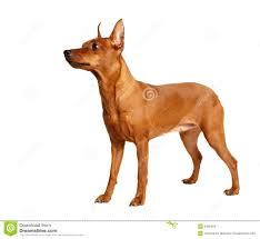 Do Miniature Doberman Pinschers Shed by Red Miniature Pinscher Isolated On White Stock Images Image 9402494
