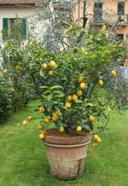 cutting back lemon trees learn when and how to prune a lemon