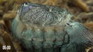 Do Tarantulas Shed Their Fangs by Tarantula Molting Is Like Alien From Science Fiction Movie A Must