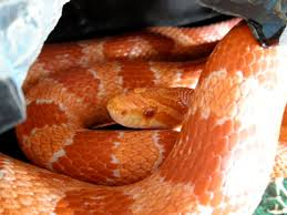 Corn Snake Shedding Signs by Corn Snake Hither And Yarn