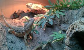 Bearded Dragon Heat Lamp Times by How To Choose The Right Vivarium Pogopogona