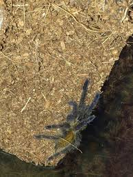 Pumpkin Patch Tarantula Scientific Name by Recently Given An Orange Baboon Tarantula I Am Told Don U0027t Know