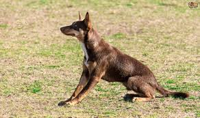 Small Non Shedding Dogs Australia by Australian Kelpie Dog Breed Information Buying Advice Photos And