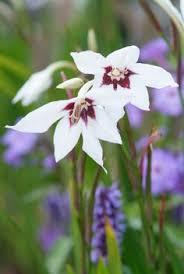 gladiolus murielae half hardy corm fragrant flowers late