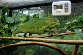 Basking Lamp For Chameleon by What Wattage Basking Light Chameleon Forums