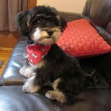 82 best yorkiepoo love images on pinterest yorkies puppies and