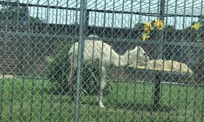 100 Tiger Truck Stop Louisiana Infamous Owner Acquires More Exotic Animals For Display