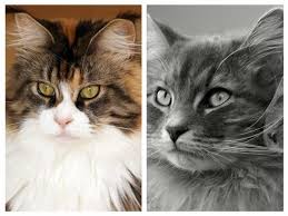 forest cat vs maine coon who s the bigger snow maine coon vs siberian mainecoon org