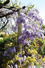 planting wisteria in a pot pergola design wonderful can you grow a wisteria in a pot how to