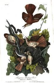 Ferruginous Mocking Bird John Audubon In The Birds Of America Vol 3