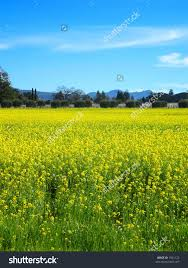 Napa Pumpkin Patch by Field Mustard Flowers Bloom Napa California Stock Photo 1961123