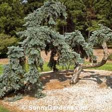 Picea Pungens Weeping Blue Spruce