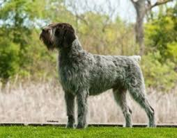 German Wirehaired Pointer Shedding by How To Groom A Wirehaired Pointing Griffon Bluestem Kennels