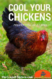 Hot Tips To Keep Chickens Cool In Summer Heat | Heat Stress ... Diy Treat Basket Backyard Chickens Treating Bumblefoot In Chicken Coops Homemade Coops Backyard Chickens Page 1 Garden Delights Homemade Scratch Block And Boredom Buster For 175 Best Homestead Images On Pinterest Backyard Chickensthe Girls Get Treats Being Good Layers The Chick 20 Winter Busters Causes Prevention Treatment Treats Guide Dont Love Your Pets To Getting A Cold Treat Youtube Learn The Benefits Of Pumpkin Your Flock From Tillys