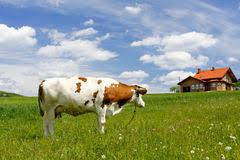 Granero De Vaca En Paisaje Alpino Foto de archivo Imagen