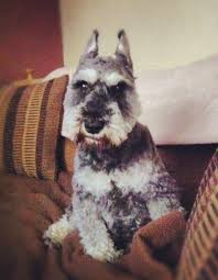 Do Giant Schnauzer Dogs Shed Hair by Miniature Schnauzer Dog Breed Information And Pictures