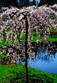 Double Weeping Flowering Cherry