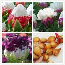 true tulip bulbs not tulip seeds bonsai flower bulbs