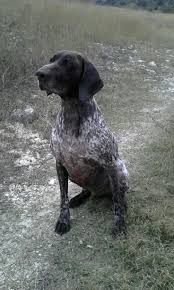 German Shorthaired Pointer Shed Hunter by Short Hair Hunting Dog Breeds Maconbourgogne