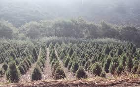 Best Christmas Tree Farms Santa Cruz by Half Moon Bay Pumpkin Festival Well Traveled Wife