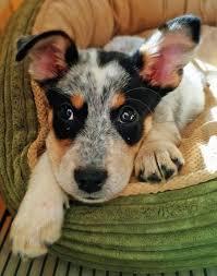 best 25 blue heeler dog ideas on pinterest blue heelers cutest