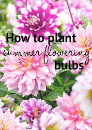 how to plant summer flowering bulbs lilies dahlias and irises