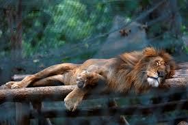 Porcupine Eats Pumpkin by Animals Starving In Venezuela Zoos