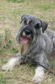 Do Giant Schnauzers Shed by Standard Schnauzer Breed Information History Health Pictures