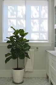 Pot Plants For The Bathroom by The Fig And I Tips For Caring For Fiddle Leaf Fig Trees Gardenista