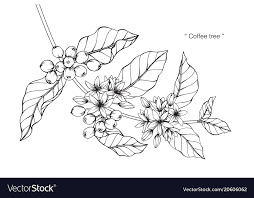 Coffee Tree Drawing Vector Image