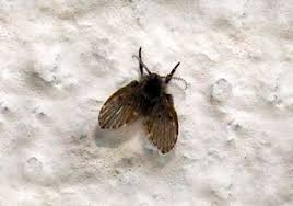 how to get rid of drain sewer flies 4 best gels foam and igr