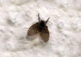 Little Flies In Bathroom Drain by How To Get Rid Of Drain Sewer Flies 4 Best Gels Foam And Igr