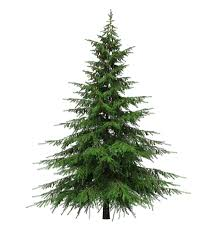6ft Christmas Tree by Healing Benefits Of Your Christmas Tree Cloverleaf Farm